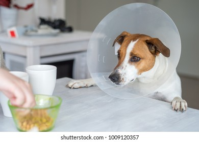 Five-year-old Danish Swedish Farmdog with protective Elizabethan collar. This breed, which originates from Denmark and southern Sweden is lively and friendly.