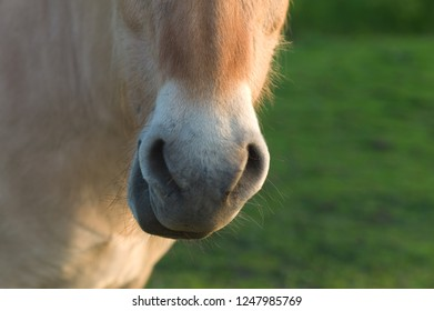 Fjord horse chewing