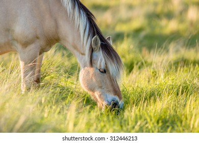 a fjord horse is eating from high grass in a nature environment during golden hour.