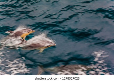 The fjord Milford Sound. Flock of dolphins accompanies the ship, jumping in waves. The best journey in life. Concept of active and ecological tourism