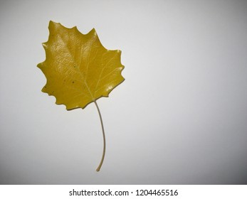 Flaccid autumn yellow leaf on white background