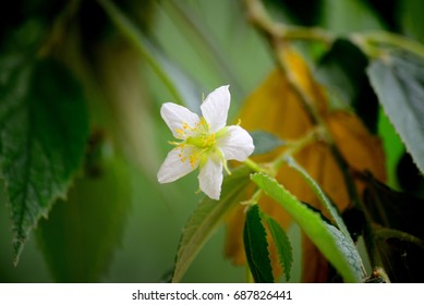 Flacourtia jangomas Raeusch. - Shutterstock ID 687826441