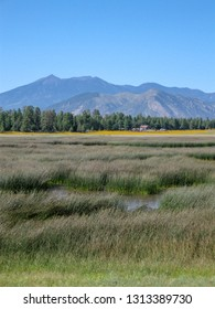 Flagstaff's San Francisco peaks with a row of ponderosa pines and a field of tall flowing grasses with some water