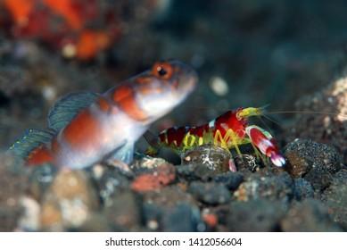 Flagtail Shrimpgoby (Amblyeleotris yanoi) live together with Randall's snapping shrimp (Alpheus randalli). Underwater symbiosis. Tulamben, Bali, Indonesia.