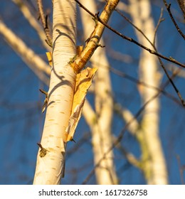 Flaking Silver Birch bark also known as 'Paper Birch'.
