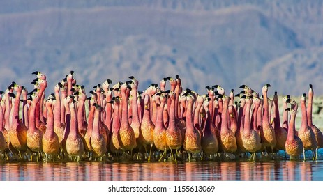 A flamboyance of greater flamingos wading in the water, salt-pans.