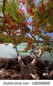Flamboyant Christmas Tree (Delonix regia) at Vonu Point, Turtle Island, Yasawa Islands, Fiji.