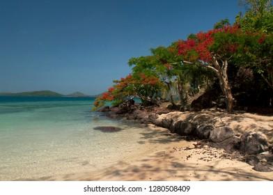 Flamboyant Christmas Trees on the Way to Vonu Point, Dolphin Beach, Turtle Island, Yasawa Islands, Fiji.