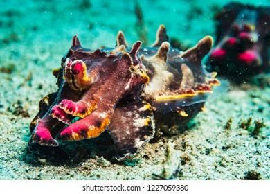 A flamboyant cuttlefish, Metasepia pfefferi, hunting in the Philippines.