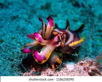 Flamboyant cuttlefish Underwater macro photography