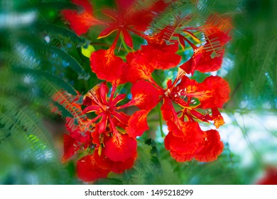 Flamboyant or Delonix Regia red flowers closeup. Beautiful tropical flame tree flowers. Royal Poinciana Tree or Flame Tree or Peacock Flower in Israel, Netanya