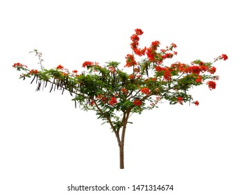 Flam-boyant, The Flame Tree, Royal Poinciana isolated on white background with clipping path