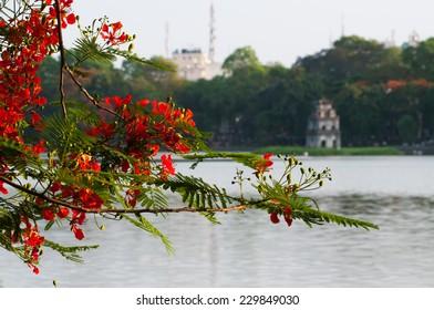 Flamboyant flower bloom near Hoan Kiem lake in Hanoi, Vietnam