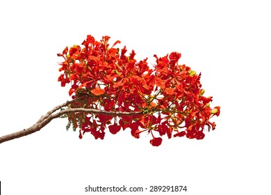 Flam-boyant flower isolatedo n white background