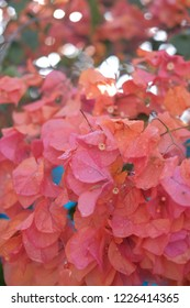 Flamboyant flowers blooming at the park in summer