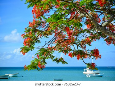 Flamboyant flowers blooming at the seaside park in Mauritius.