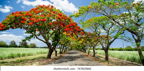 Flamboyant flowers blooming under blue sky in Mauritius.
