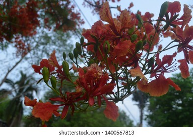 """Flamboyant flowers of an ornamental tree  called Royal Poinciana, aka, flamboyant, flame of the forest, or """"flame tree"""""""