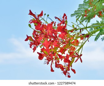 flamboyant flowers that are in bloom red