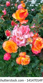 Flamboyant, pink-white roses & opening yellow-pink roses on the same shrub. Cameleon, two-color roses against dark green foliage. Sumptuous,yellow-pink & pink-white roses contrasting with green leaves