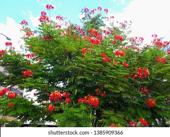 Flamboyant red, an abundant and irregular canopy tree, when adult, usually displays its lush flowers in the summer season, considered one of the most beautiful, by the intense red of its flowers.