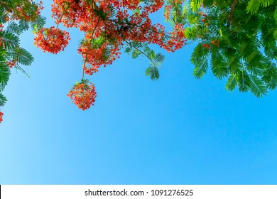 Flamboyant tree clean sky background