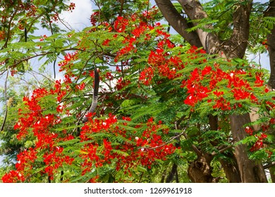 A Flamboyant tree or delonix regia with bright red flowers and large seed pods, Kenya, East Africa