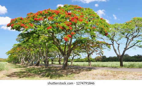 Flamboyant tree. Delonix regia. Mauritius island