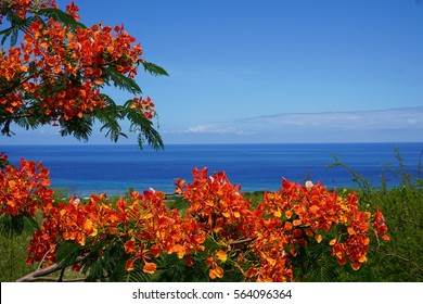Flamboyant tree in full bloom with the ocean in La Reunion, France