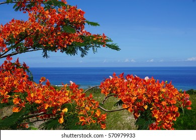 Flamboyant tree in full bloom with an ocean view in La Reunion, France