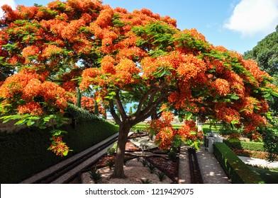 Flamboyant tree in Haifa (Israel)