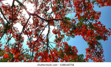 Flamboyant tree in outdoor