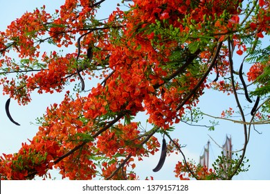 Flamboyant tree or phoenix flower, a kind of urban tree that bloom bright red flowers in summer season, beautiful blossom on branch of tree from bottom view