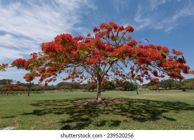 A Flamboyant tree in red bloom in a parc in Brisbane, Australia