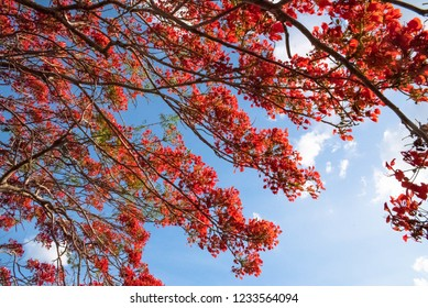Flamboyant tree with red flowers