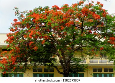 Flamboyant tree in school yard bloom red phoenix flower among green leaf on wooden window make beautiful landscape in summertime, Ho chi Minh city, Vietnam