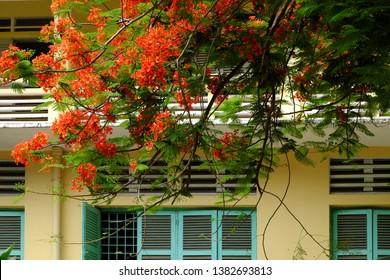 Flamboyant tree in school yard bloom red phoenix flower among green leaf on wooden window make beautiful landscape in summertime, Ho chi Minh city, Vietnam