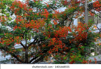Flamboyant tree, summer flowers, bloom vibrant in red cover windows open at school, phoenix flower symbol for summertime of pupil, Ho Chi Minh city, Vietnam