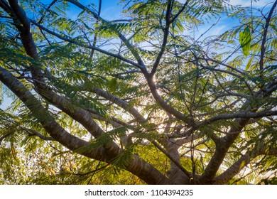 Flamboyant tree with the sun reflecting behind