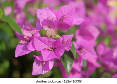 flamboyant tree with vibrant violet flower