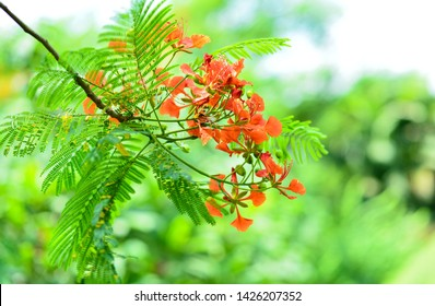 Flamboyant is usually blooming in the summer time around the month of May, June and July. It is a symbol of student who will say goodbye to the school for every summer holiday.