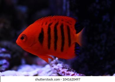 Flame Angel fish