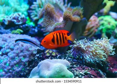 Flame Angelfish, Flame Angel Fish, Flame Angel Or Centropyge Loricula Swimming In Aquarium.