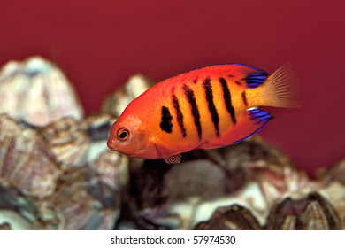 The Flame AngelFish. A popular but expensive aquarium fish.