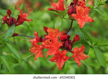 Flame Azalea Blooming in Orange
