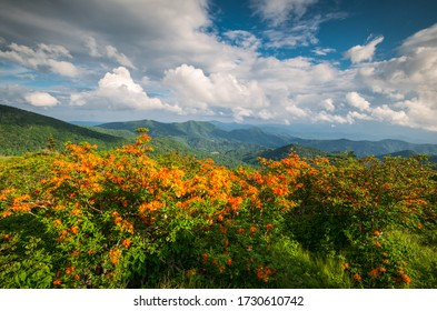Flame Azalea flowers blooming wild along the Appalachian Trail in the scenic Blue Ridge Mountains during spring on the border of Western North Carolina and Eastern Tennessee landscape photography.