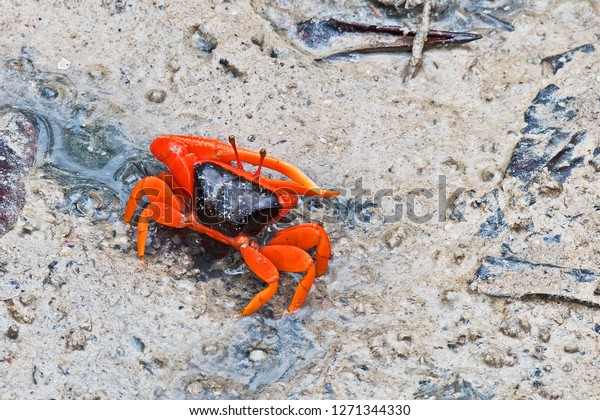 flame-backed-fiddler-crab-uca-600w-12713