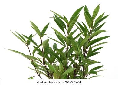 Flame  flower(Justicia fragilis   Wall.,Gendarussa vulgaris Nees)