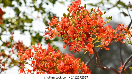 Flame of the forest, royal poinciana, flamboyant,Gulmohar (Delonix regia) beautiful bunch of flower.