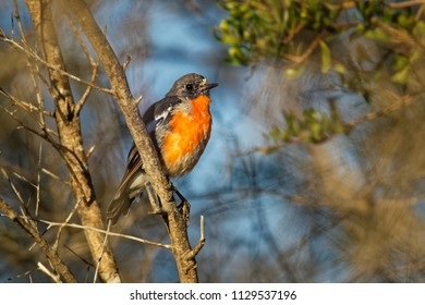 Flame Robin - Petroica phoenicea - australian brightly red small song bird, Tasmania, southern and eastern Australia.